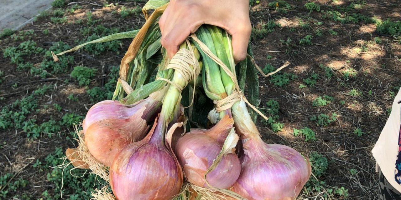 cipolla di airola nuovo presidio Slow Food