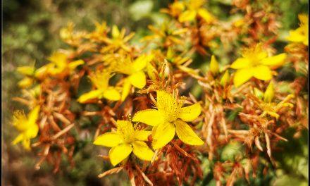 L'Iperico, erba magica del Solstizio d'Estate