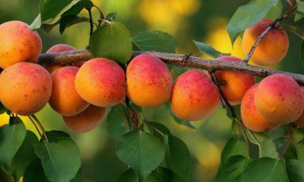 L'Albicocca Vesuviana: Varietà, Proprietà e Ricette